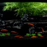 BlackSlateCichlid-tank2-flat