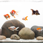 tfh-goldfish1